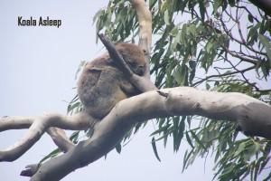 GSWW-Koala2